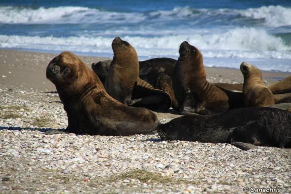 San Antonio Este, sea lions (44)
