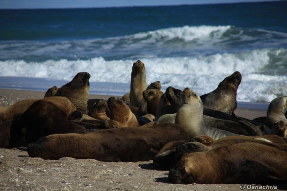 San Antonio Este, sea lions (45)