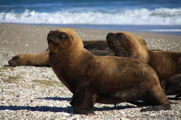 San Antonio Este, sea lions (46)