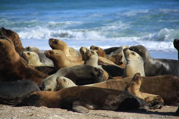 San Antonio Este, sea lions (47)