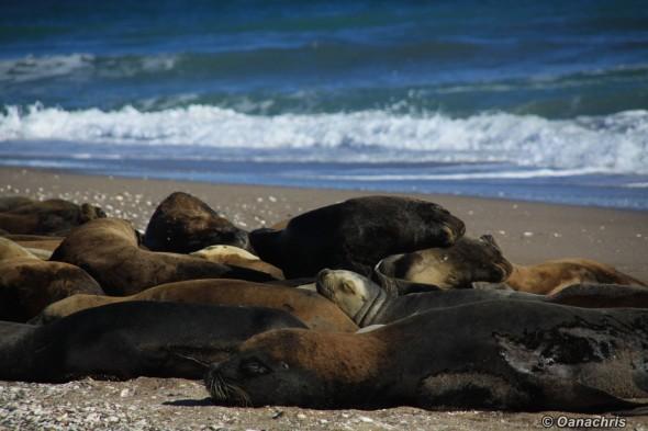 San Antonio Este, sea lions (49)