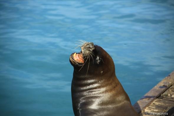 San Antonio Este, sea lions (5)