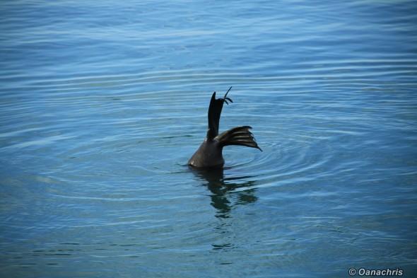 San Antonio Este, sea lions (8)