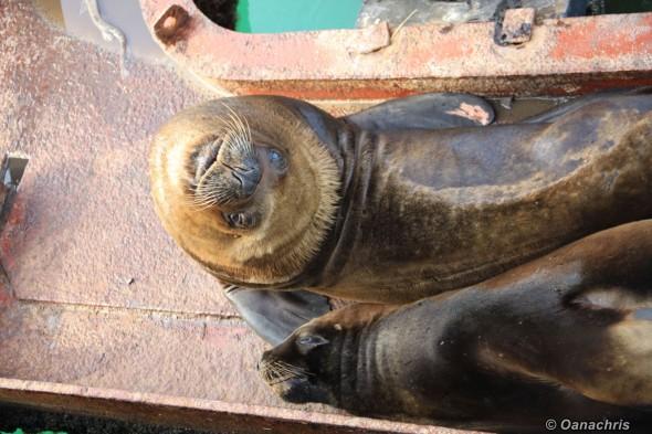 San Antonio Este, sea lions (9)