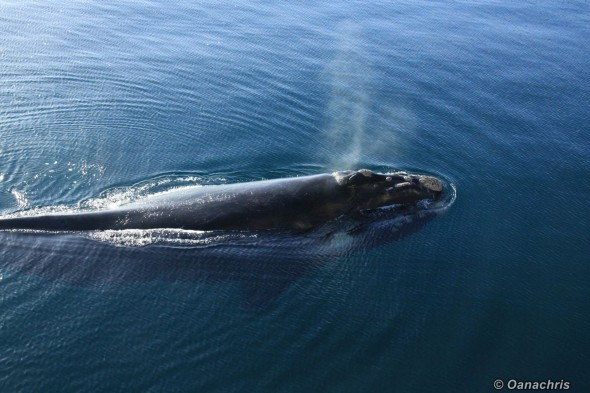 Puerto Madryn Argentina - Whale watching (19)