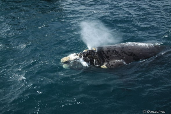 Puerto Madryn Argentina - Whale watching (46)
