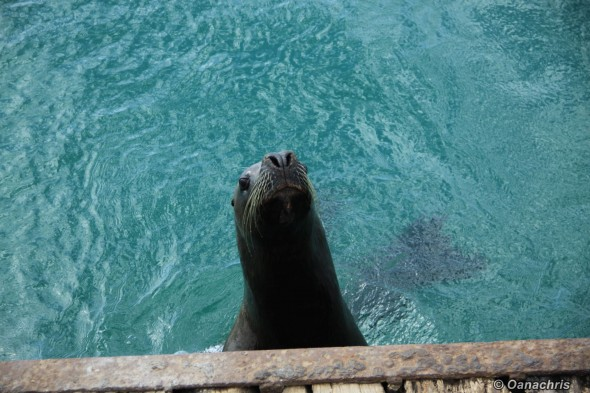 Funny sealion inside San Antonio Este Port
