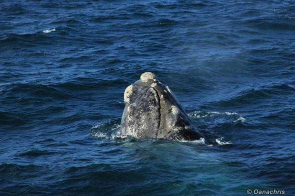 Puerto Madryn Argentina whale watching from the vessel 10