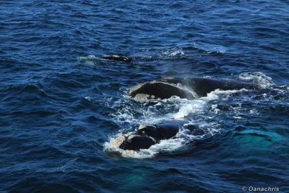 Puerto Madryn Argentina whale watching from the vessel 8