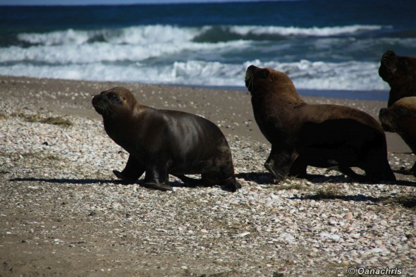 San Antonio Este Argentina Sealion colony