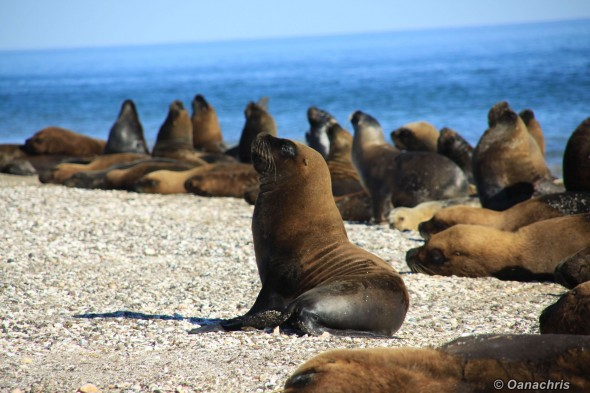 Sealion colony San Antonio Este Argentina