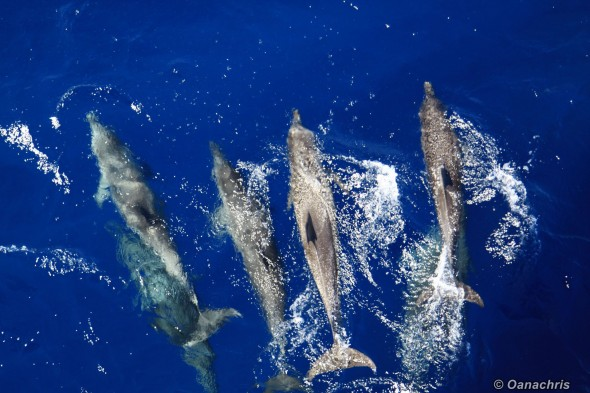 Dolphins approaching Miami (2)