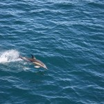Dolphins in the South Atlantic Ocean
