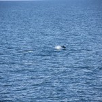 Dolphins in the South Atlantic Ocean (2)