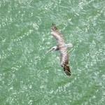 Pelican approaching Houston