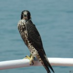 Sea Hawk visiting the vessel in the Gulf of Mexico