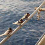 Sparrows visiting the vessel in anchorage Altamira