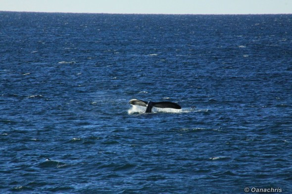 Whale watching in Golfo Nuevo Argentina