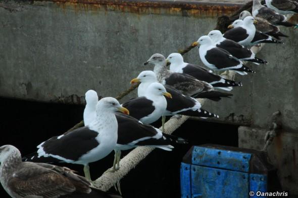 Puerto Deseado - seagulls