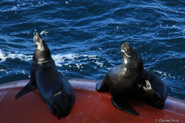 Sea lions on the bulb of HS Liszt alongside (1)