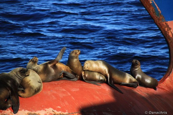 Sea lions on the bulb of HS Liszt alongside (7)