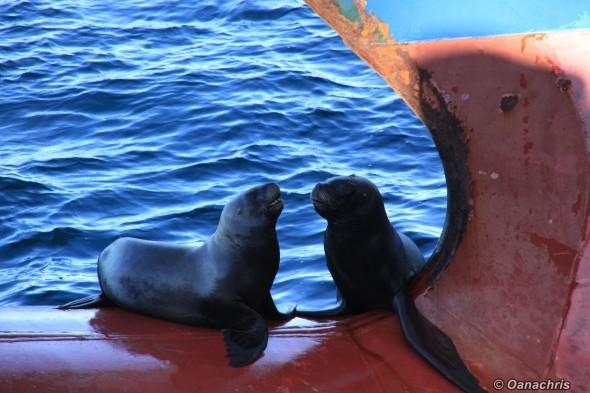 Sea lions on the bulb of HS Liszt alongside (8)