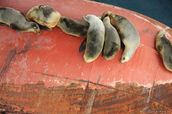 Sea lions on the bulb of hS Liszt (5)