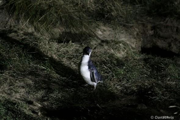 The little blue Penguin (6)