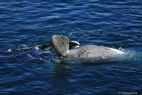 Puerto Madryn Argentina - Whale watching (14)
