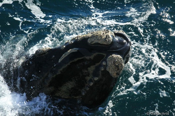 Puerto Madryn Argentina - Whale watching (4)