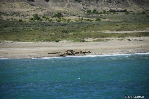 San Antonio Este, sea lions (1)