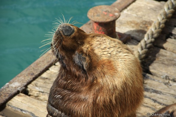 San Antonio Este, sea lions (12)