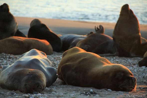 San Antonio Este, sea lions (17)