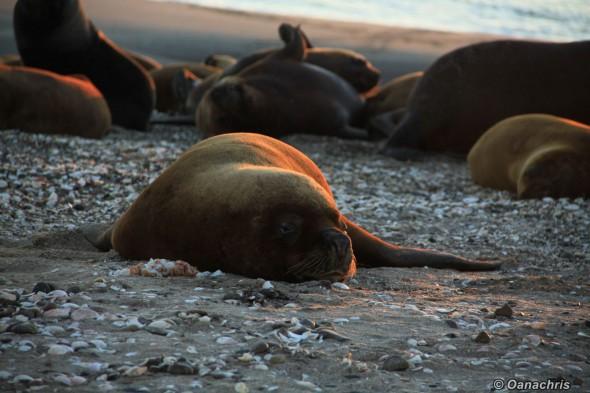 San Antonio Este, sea lions (19)