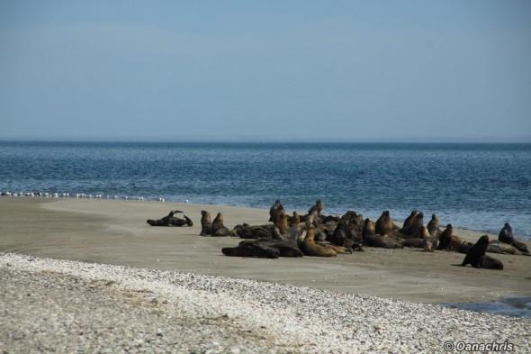 San Antonio Este, sea lions (2)
