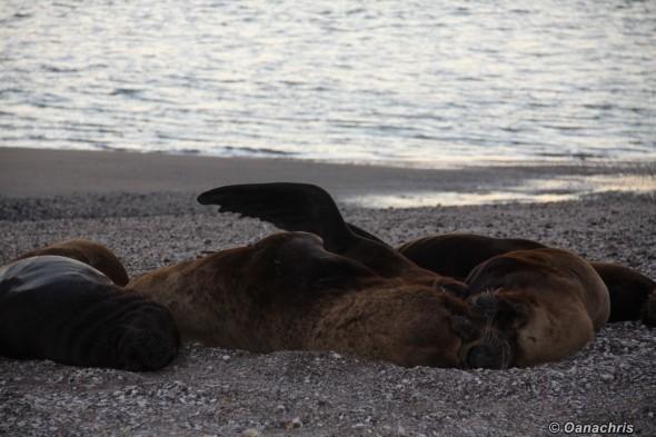 San Antonio Este, sea lions (22)