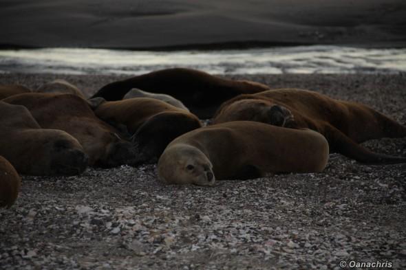 San Antonio Este, sea lions (24)