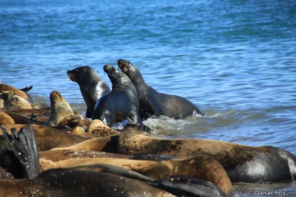 San Antonio Este, sea lions (28)