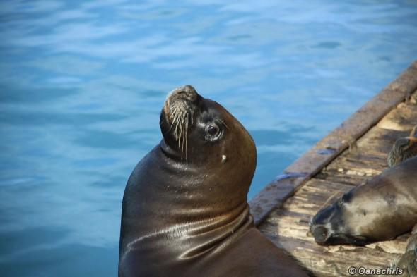 San Antonio Este, sea lions (3)