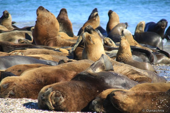 San Antonio Este, sea lions (30)