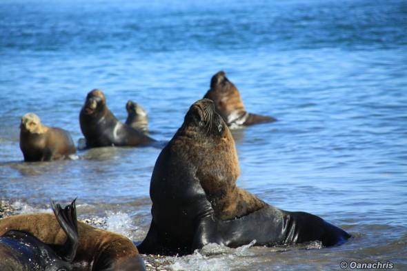 San Antonio Este, sea lions (35)