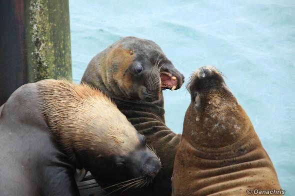 San Antonio Este, sea lions (38)