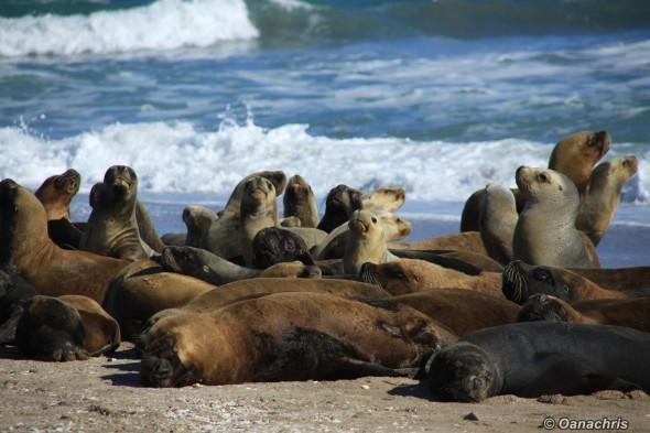 San Antonio Este, sea lions (40)