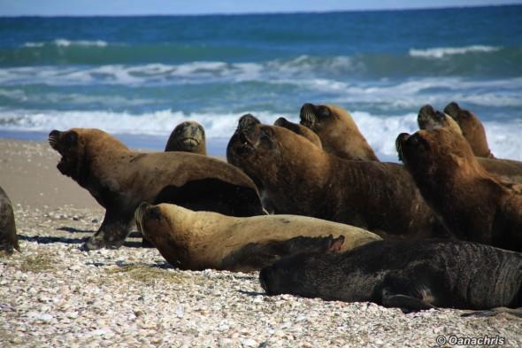 San Antonio Este, sea lions (42)